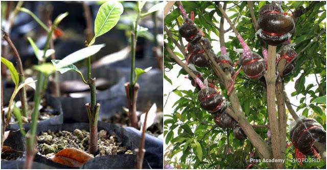 Pras Academy Sd Perkembangbiakan Vegetatif Buatan Pada Tumbuhan
