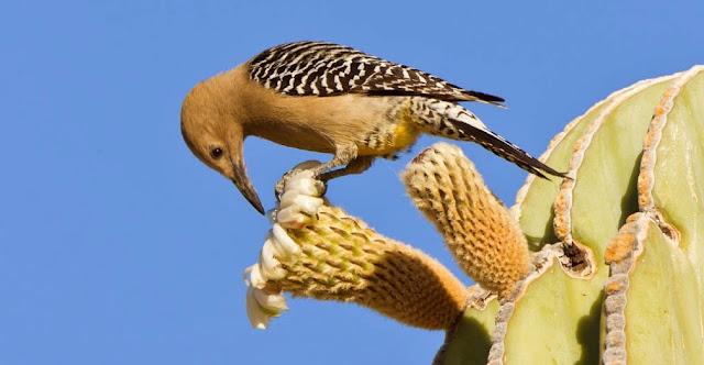 Aves de los desiertos: pico de gila
