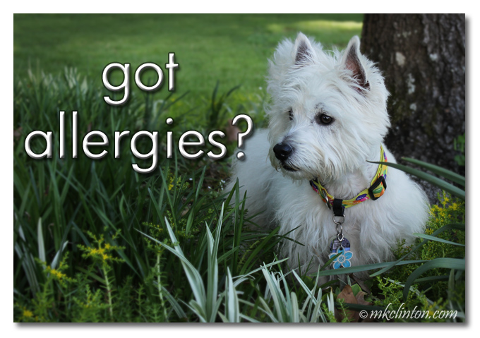"White West Highland Terrier in garden meme, ""Got allergies?"""