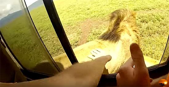 Turista sem noção acaricia leão selvagem e tem uma surpresa - Img 1