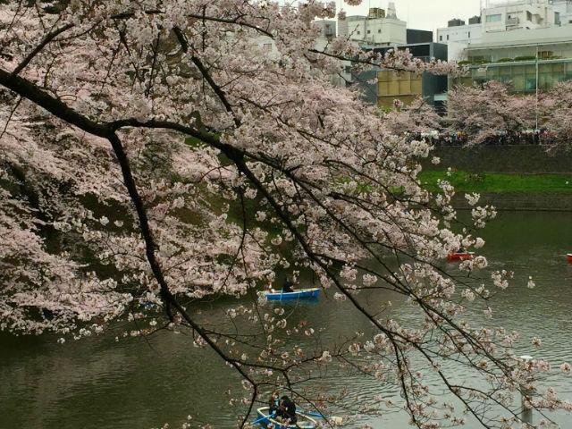 東京観光-春・東京人おすすめの花見スポット武道館など-