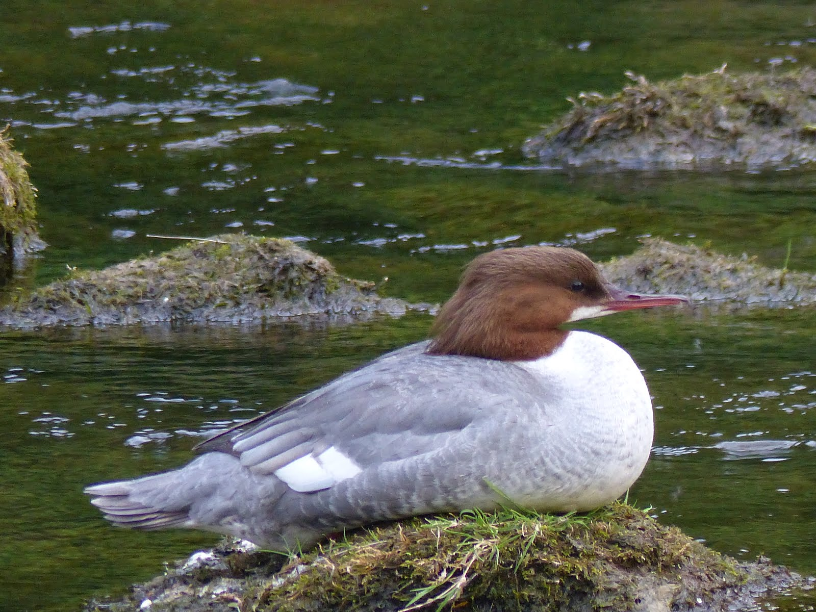 Goosander on the Coquet