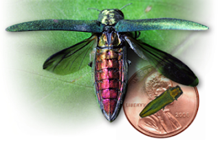 Picture of an Emerald Ash Borer