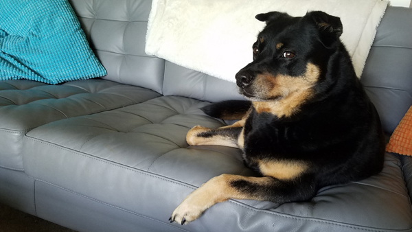 image of Zelda the Black and Tan Mutt sitting on the sofa, giving some side-eye