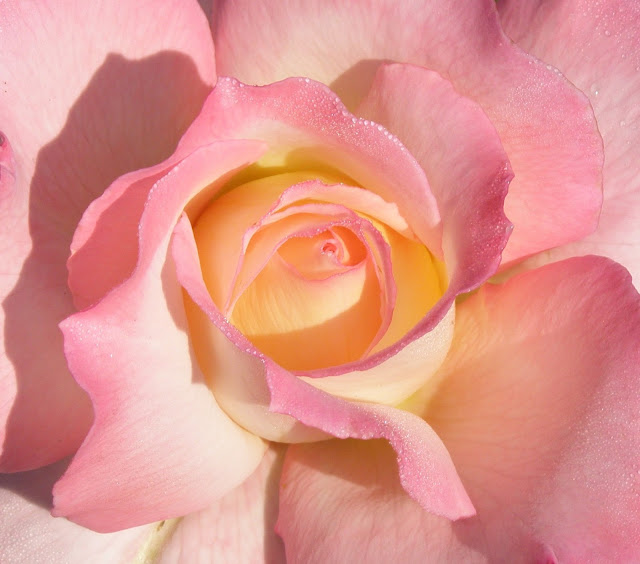 Secret, rose, hybrid tea