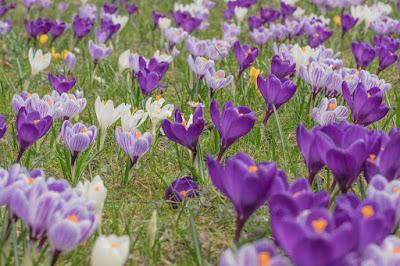 Cara Menghilangkan Bibir Hitam & Kering alami dengan saffron