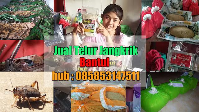 Jual Telur Jangkrik Bantul Yogyakarta Hubungi 085853147511