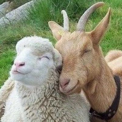 Goat Sheep