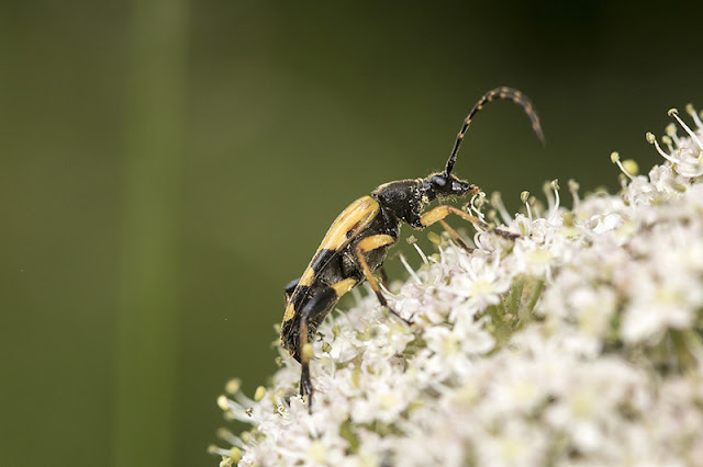 Side view of Black & Yellow Longhorn Beetle