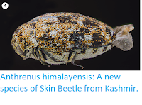 https://sciencythoughts.blogspot.com/2019/01/anthrenus-himalayensis-new-species-of.html