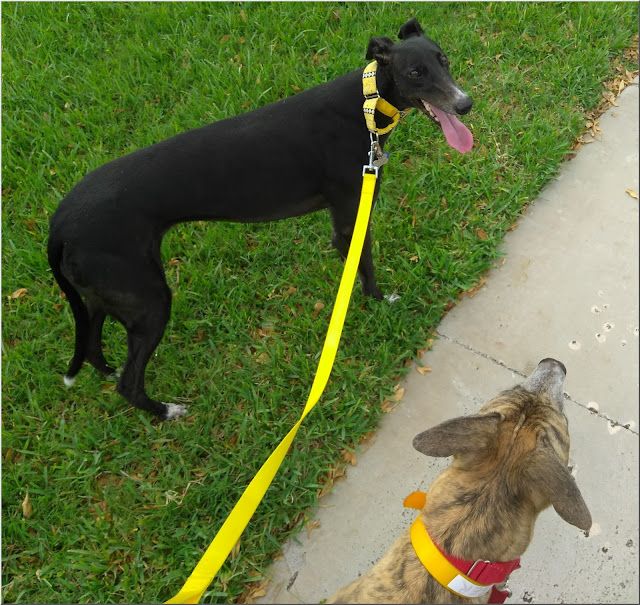 Dusty and Jagger on a walk together