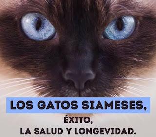 Los gatos siameses