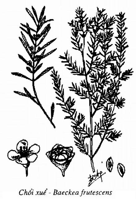 Hình vẽ Cây Chổi Xuể (Chổi Sể) - Baeckea frutescens - Nguyên liệu làm thuốc Chữa Cảm Sốt