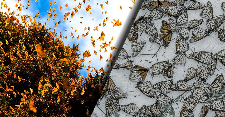 The Monarch Butterfly Is Facing Its Entire And Irreversible Extinction With A 99.4% Decline