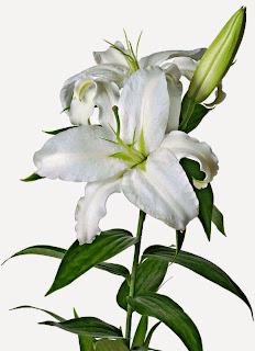 Khasiat Manfaat Bunga Lili Kesehatan Kecantikan Obat Tradisional Herbal