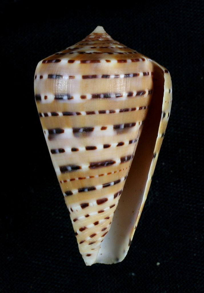 Real Monstrosities Cone Snail