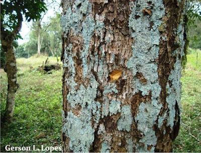 Ocotea acutifolia tronco