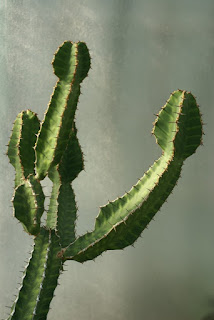Euphorbe pseudo-cactus - Euphorbia pseudocactus