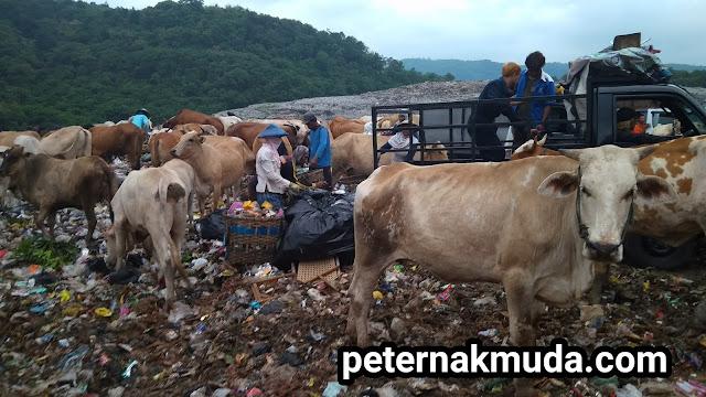 ternak di  Pembuangan Sampah Terpadu TPSP PIYUNGAN