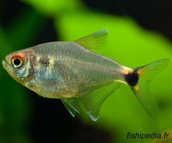 Head & Taillight tetra, Hemigrammus ocellifer
