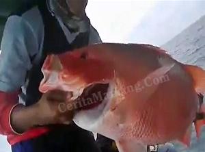 Double Strike Ikan Kerapu Dan Kakap Merah