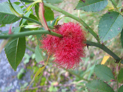 Robins-Pincushion-Gall-Wasp