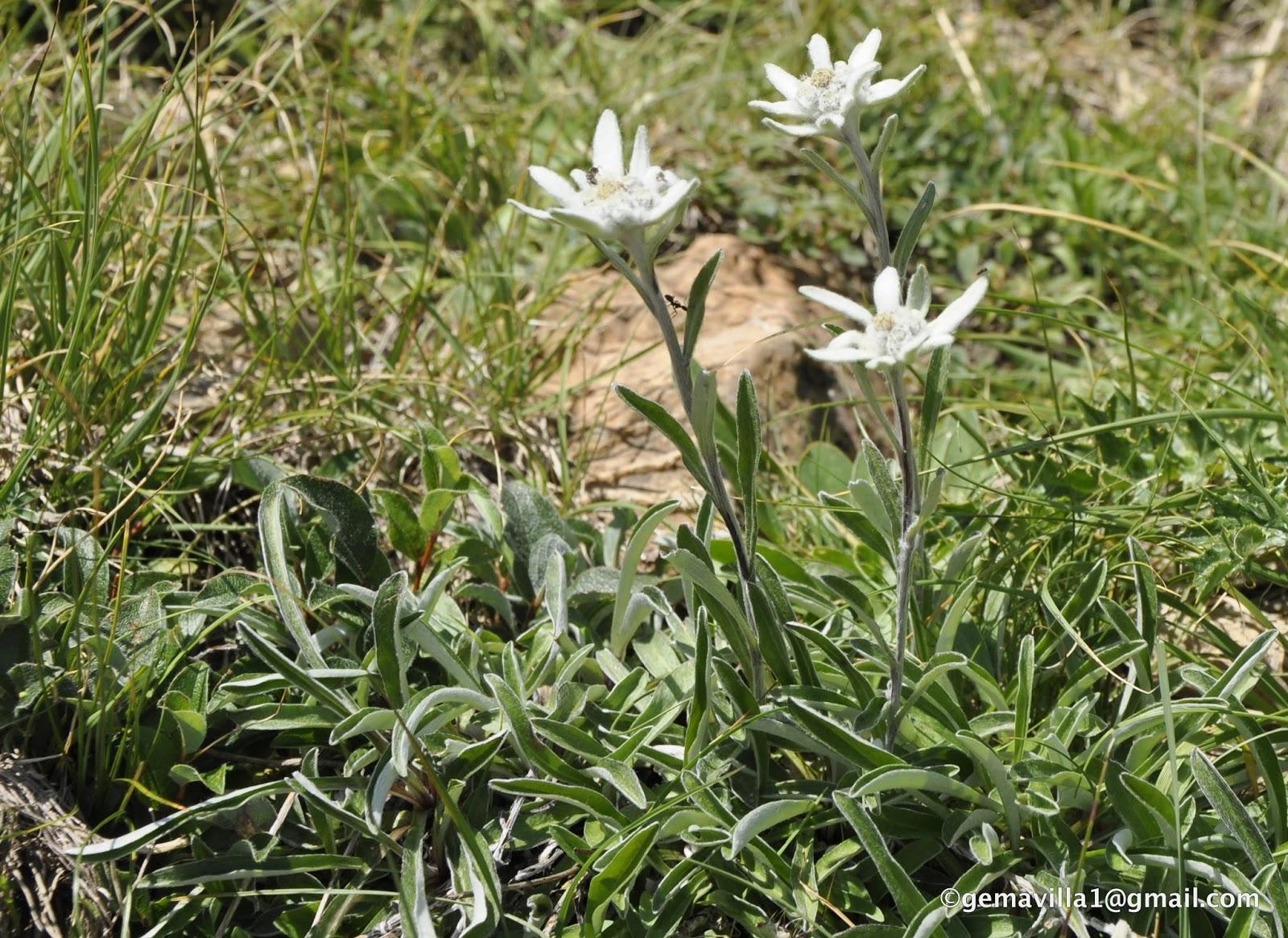 Flores del Pirineo, valle de Benasque y Cerler, por Gema Villa