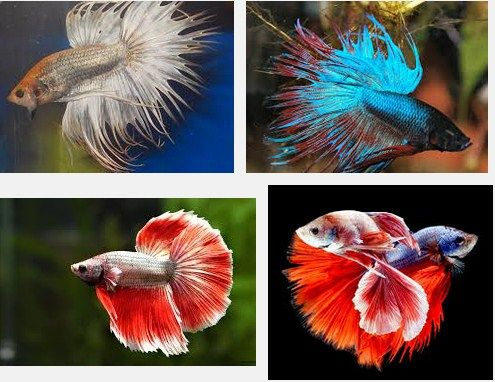 Peraturan Lomba Ikan Cupang Aduan Dalam Laga - Info ...