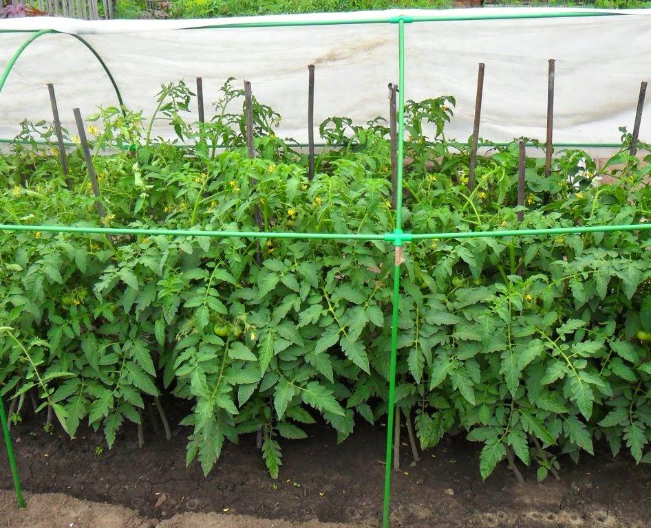 «Сдвоенные» детерминантные помидоры