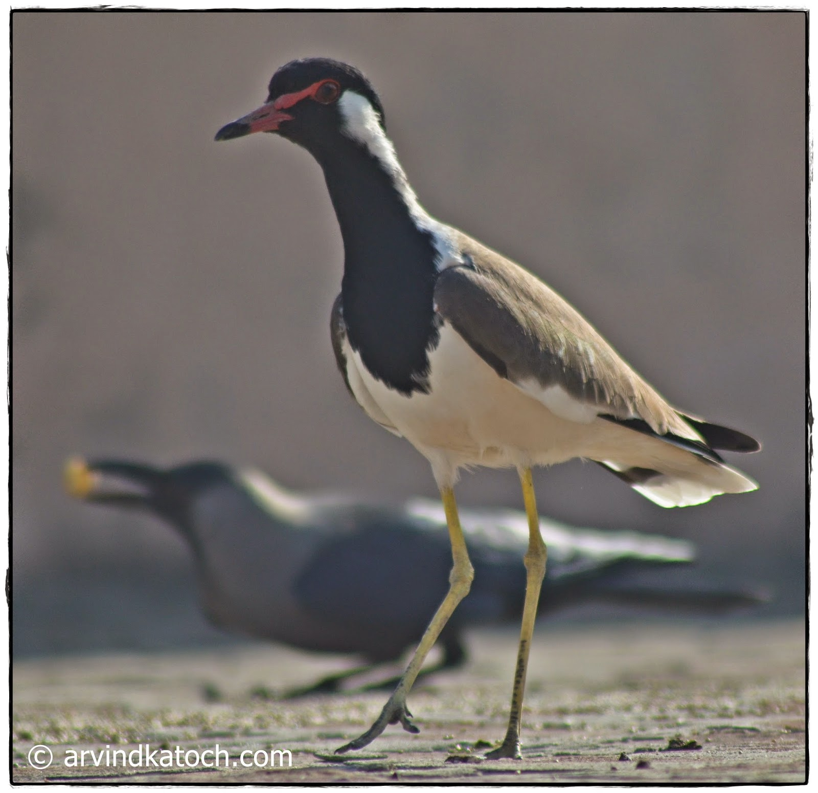 Red-wattled lapwing, eyes