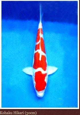 Gambar koi Kohaku Hikari ukuran 30 cm