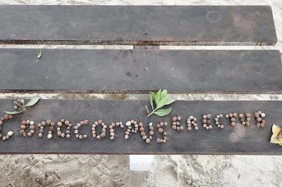 Conocarpus erectus – Button Mangrove, Puerto Villamil, Isabela Island, Galápagos