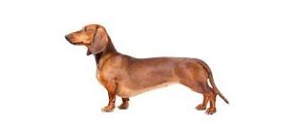 Anjing Ras Dachshund