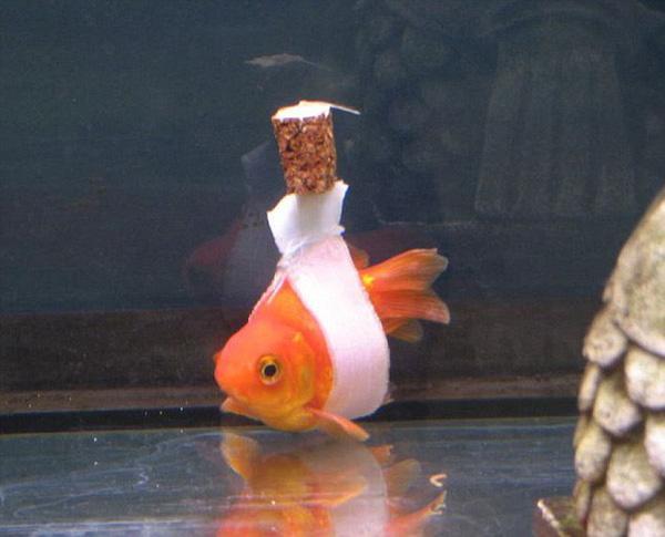 Cá vàng cũng được trang bị xe lăn tự chế như người