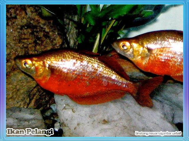 gambar ikan pelangi