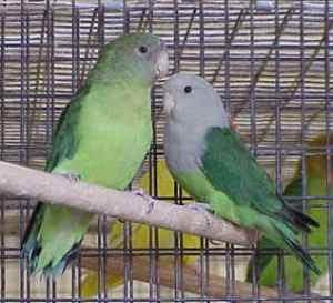 lovebird lomba, lovebird birahi