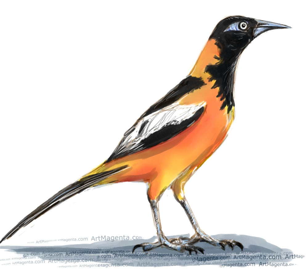 Venezuelan Troupial ketch painting. Bird art drawing by illustrator Artmagenta