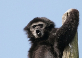 Picture of a Gibbon communicating danger.