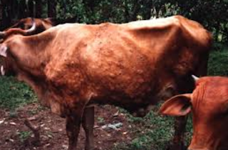 maka hasil sapi yang berkualitas yaitu cita-cita dan cita citanya Kabar Terbaru- PENYAKIT KULIT PADA USAHA TERNAK SAPI