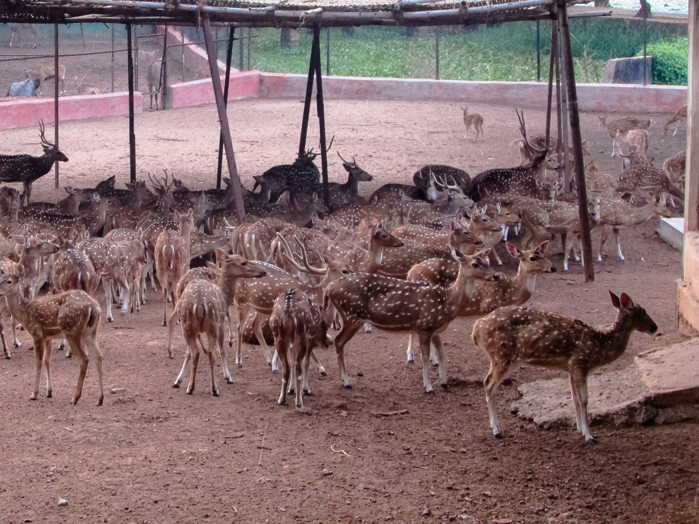 Deer at the Nandankanan zoo