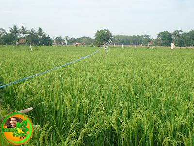 Tanaman padi usia 8 minggu, tanaman padi sudah berbunga