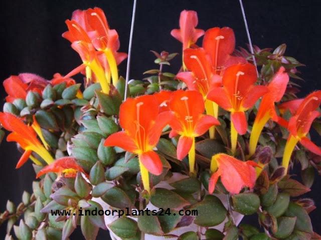 COLUMNEA X BANKSII indoor plant potted image