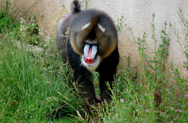 Mandrill - Facts, information and pictures 1
