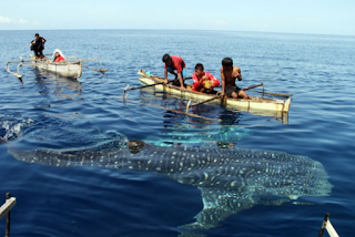 n menyaring air bahari ibarat kebanyakan jenis paus Kabar Terbaru- HIU PAUS ( GEGER LINTANG )