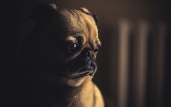 Wallpaper: Lovely Pug