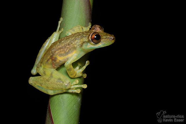 Scinax elaeochrous - Olive Tree Frog