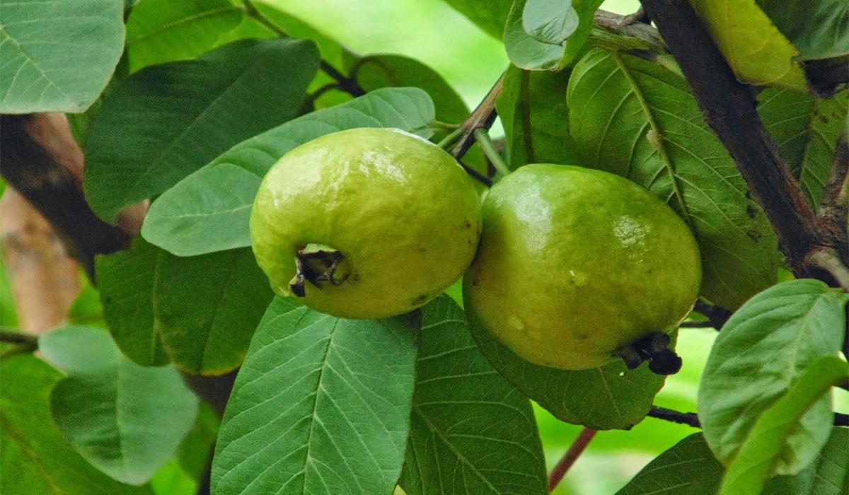 جوافة Guava علاج جديد لكحة الأطفال