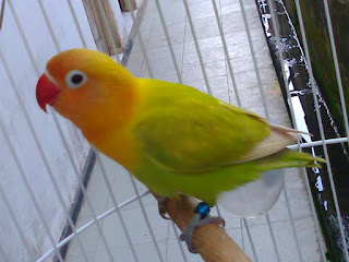 lovebird lomba