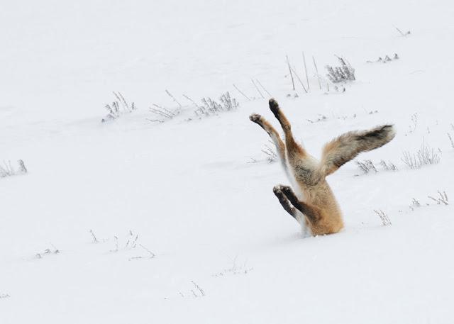 Мышкующая лиса на снегу в национальном парке Йеллоустоун, штат Вайоминг, США, декабрь 2015 года.