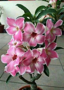 Gambar Bunga Adenium yang Unik dan Cantik 10
